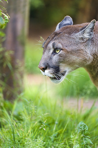 Pumas kill more and eat faster when humans are around