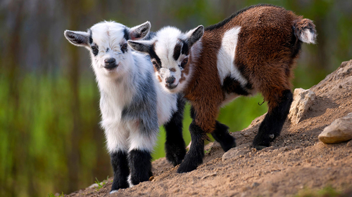 Dwarf goats have object permanence, are almost too cute to be real