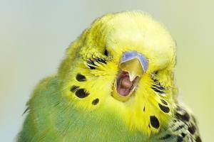 Budgies are contagious yawners, too