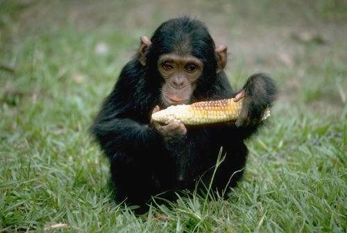 Chimps can cook, if given the tools
