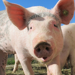 Pigs are smarter than dogs, rival chimps and dolphins
