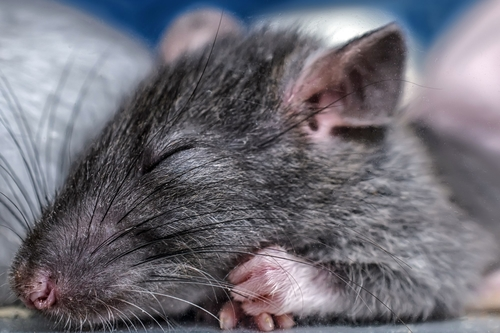 Rats dream about their future goals