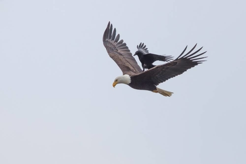 Crow defending nest appears to surf on bald eagle