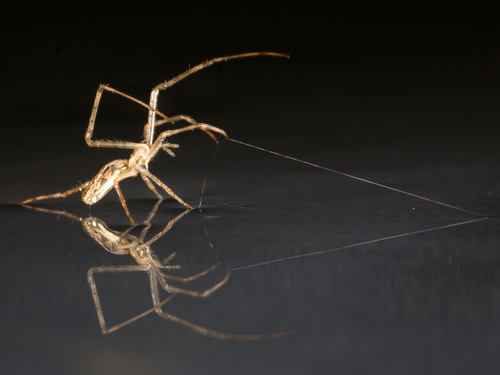 Spiders sail across water, using silk anchors