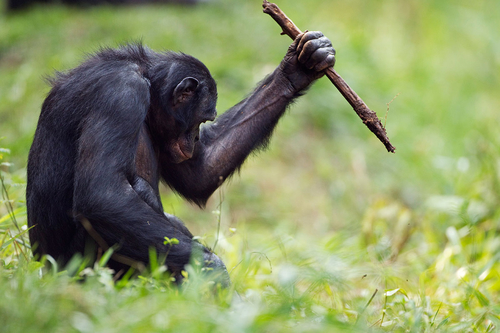 Bonobos use tools like stone-age humans