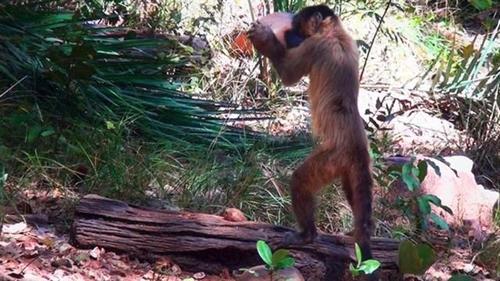 Monkeys bash nuts with dexterity, hint at evolution of human tool use