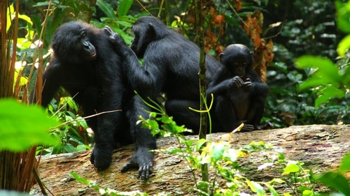 Bonobos use homonyms: functional flexibility points towards early language evolution