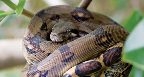 Boas don't suffocate prey: they just stop their hearts