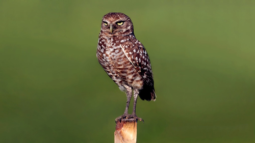 Burrowing Owls are immune to bubonic plague