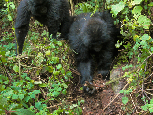 Gorilla youngsters seek out, dismantle poachers' traps