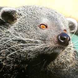 Why do bearcats smell like buttery popcorn?