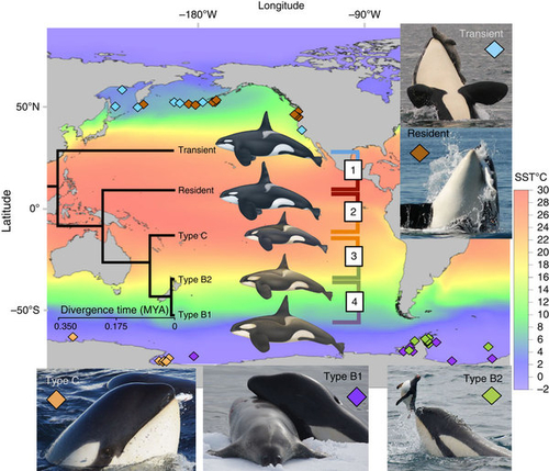 Culture drives evolution in killer whales
