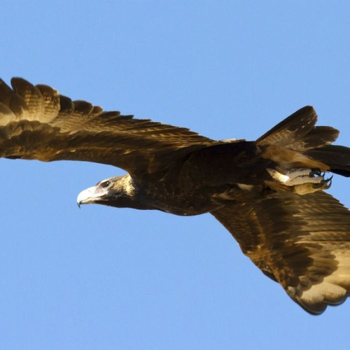 Territorial eagles destroy gold-mining drones worth $100,000