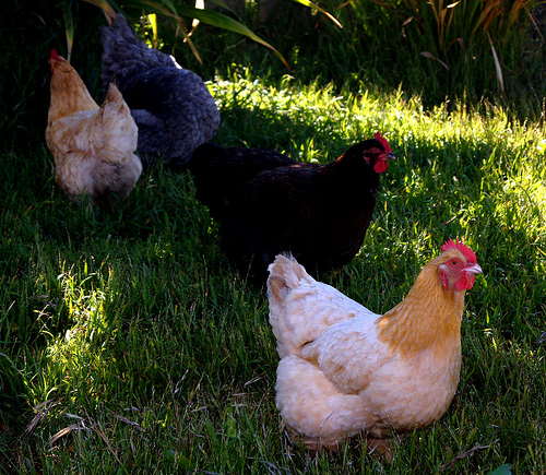 Chickens are smart and have emotions; we can't deny the wealth of data