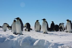 Penguins and polynias