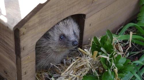 Let hedgehogs go Wild in your Garden