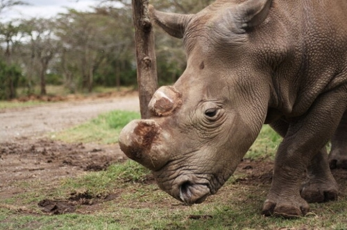 Only 6 White Rhinos Walk The Earth