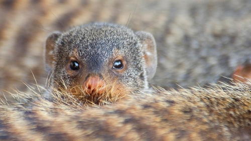 Sneaky Sex is Good for Mongooses - But Dangerous