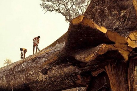 Timber!  World's oldest tree chopped down