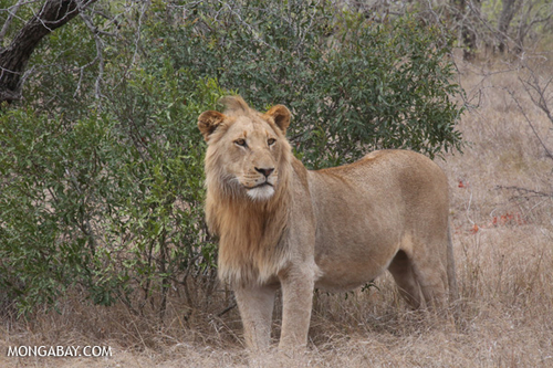The 'King of the Jungle' is back, roaming the wilds of Gabon