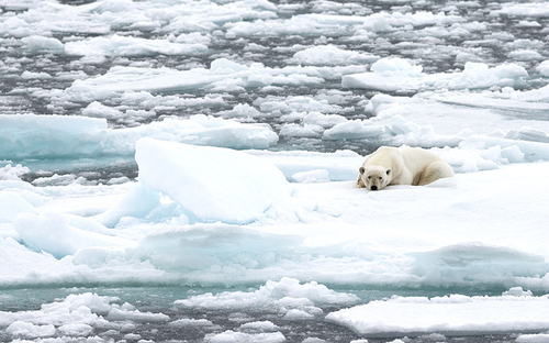 Starving polar bears: the face of the future