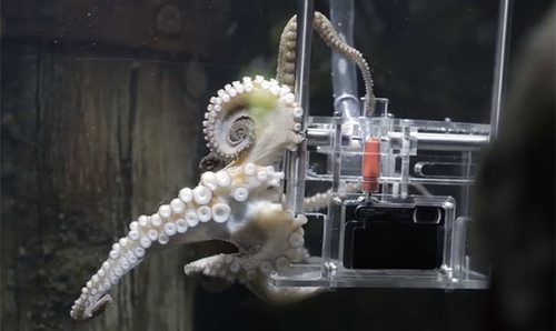 The world's first octopus photographer