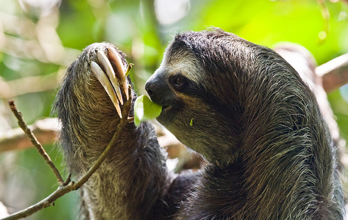 Rapid evolution in the ancestors of sloths