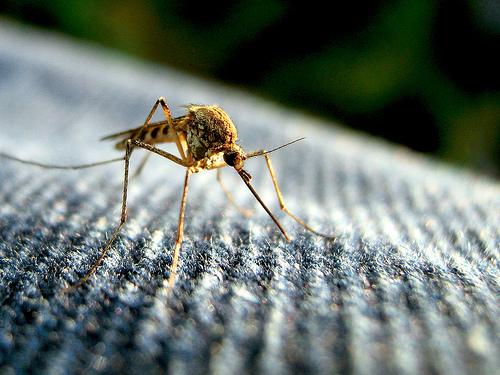 Is Ross River virus the next Zika?