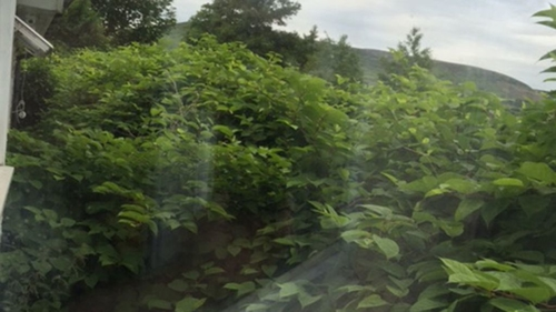 Do you have, or can you see, Japanese Knotweed at your Property?