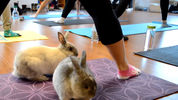 Bunny Yoga: Exercise classes with rabbits