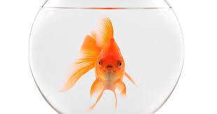 Marketing to goldfish