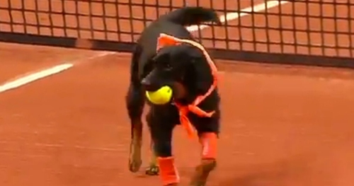 Game, Set and Fetch! Rescue dogs as ball boys