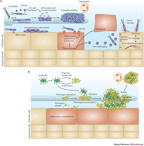 Mechanism of damage and infection in CAUTI