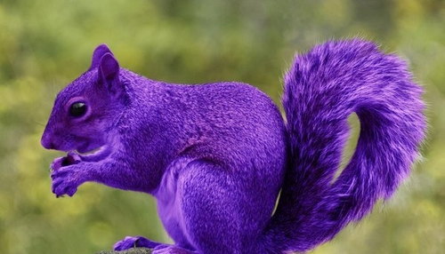 Looking for Purple Squirrels