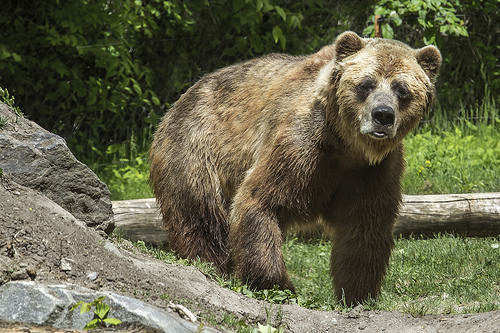 Facing grizzly bears is like making financial decisions - discuss!