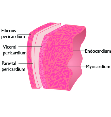 pericardium has two layers the parietal and visceral pericardiumVisceral Pericardium