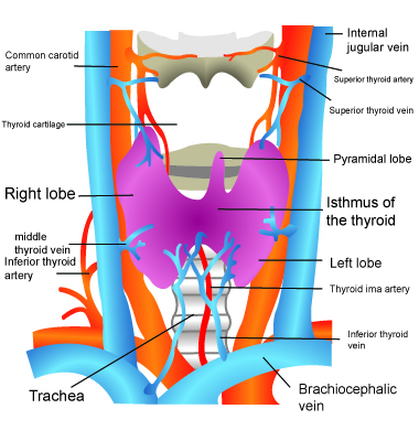 inferior thyroid arteries Thyroid anatomy fig1: thyroid position in the neck in front of the  the major blood supply to the thyroid is from the paired superior and inferior thyroid arteries.