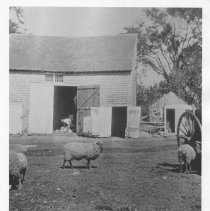 Image of P1978.050 - Sheep Shearing