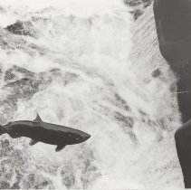 Image of Salmon traveling upstream - Issaquah Press Collection
