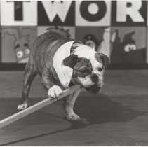Image of Buddy the English bulldog - Beaver Lake MS mascot - Issaquah Press Collection