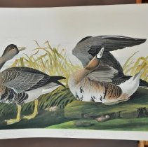 Image of Lithograph - White-fronted Goose