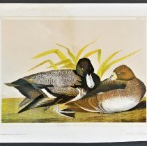 Image of Lithograph - Scaup Duck