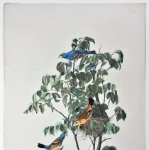 Image of Lithograph - Blue Grosbeak