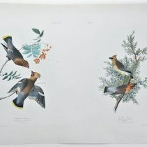 Image of Lithograph - Bohemian Chatter/Cedar Bird