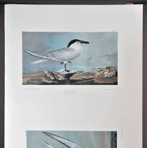 Image of Lithograph - Arctic Tern/Sandwich Tern