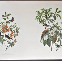 Image of Lithograph - Swainson's Warbler and Bachman's Warbler