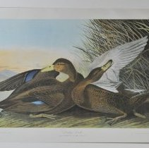 Image of Lithograph - Dusky Duck or Black Duck