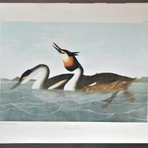 Image of Lithograph - Crested Grebe