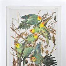 Image of Lithograph - Carolina Parrot