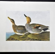 Image of Lithograph - Gadwall Duck